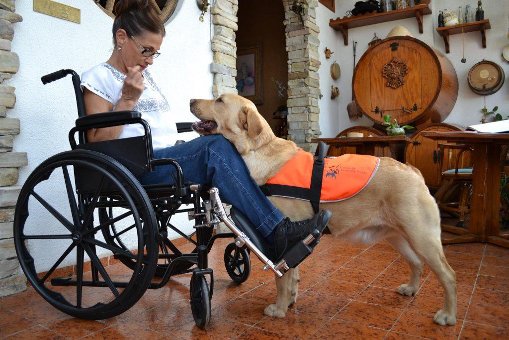 Fotografía de un perro de asistencia de raza labrador de color beige que se encuentra frente a la usuaria a la que asiste, una mujer de mediana edad con cabello café claro y anteojos, que lleva puesta una blusa blanca y pantalón de mezclilla sentada en una silla de ruedas.